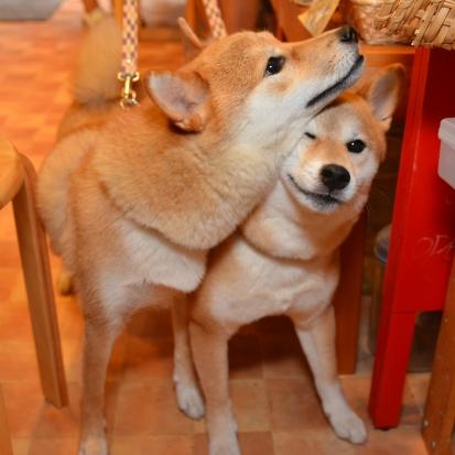 柴犬 コロ テン