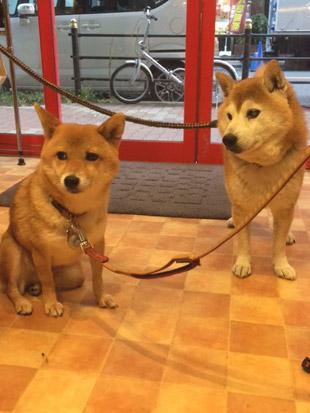 柴犬 定春 小春 1