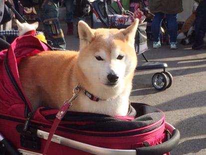 柴犬 せん 2