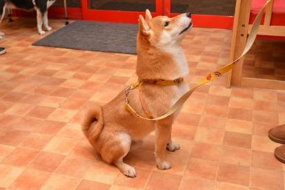柴犬 りく 2