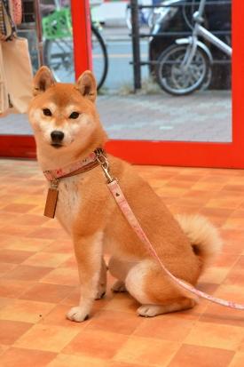 柴犬 まる 2