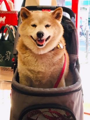 柴犬 太郎