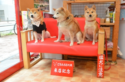 柴犬 くぅ 2