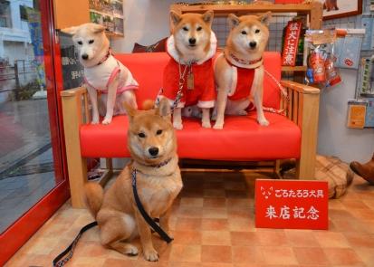 柴犬 撮影