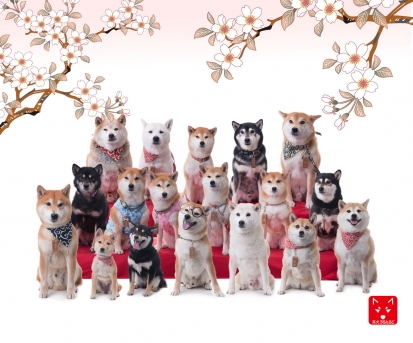 柴犬 雛壇