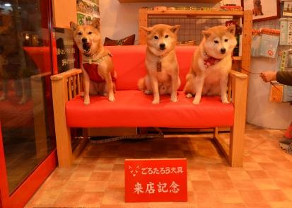 柴犬 くぅ ほたる