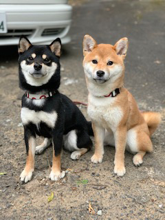 柴犬 こと・えま 2