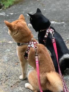 柴犬 こと・えま 1
