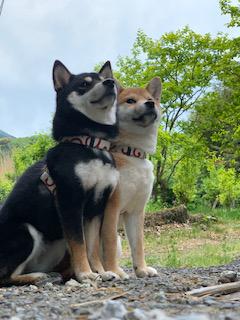 柴犬 こと・えま 3