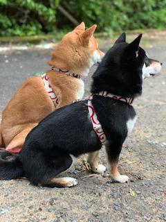 柴犬 こと・えま 4