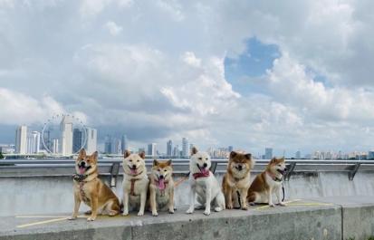シンガポールの柴犬達