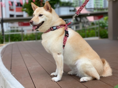 マレーの柴犬