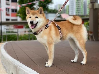 ごろたろう犬具海外の柴犬