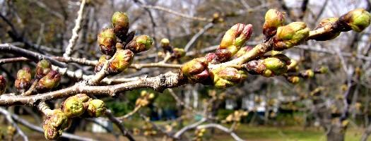 桜、開花前