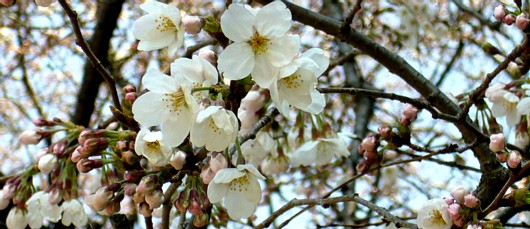 3月24日善福寺川公園の桜