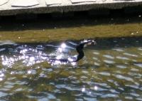 善福寺川の川鵜
