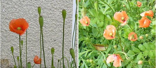 ヒナゲシの画像 p1_19