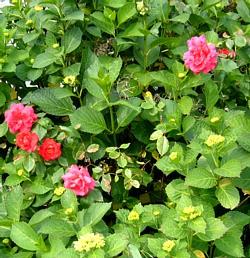 薔薇紫陽花