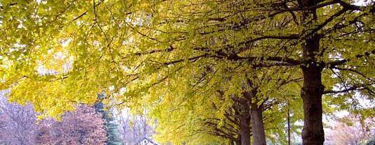 銀杏の黄葉