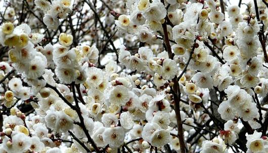 和田堀公園の白梅