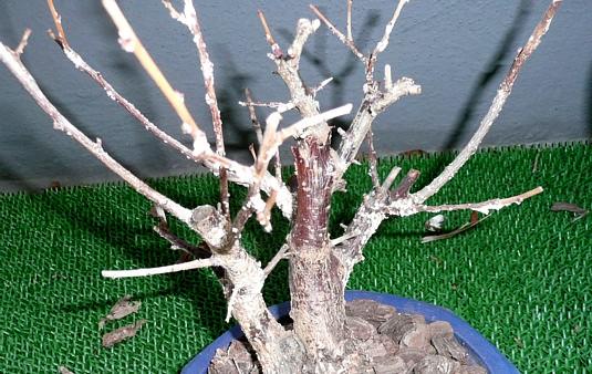 枯れた梅の木