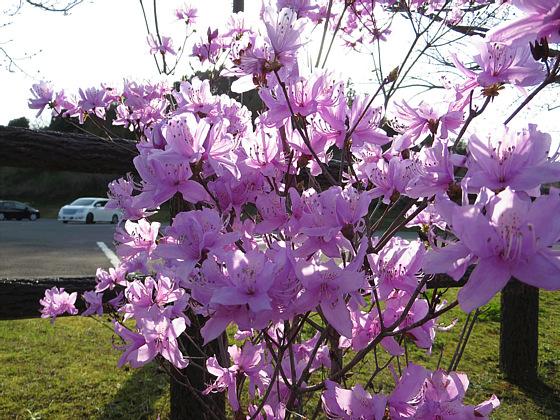 ナンゴクミツバツツジ(南国三葉躑躅)