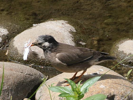 ムクドリが何かを咥えていたので撮ってみたら、鳥の羽根のようでした。時季的には、巣作りの材料を集めてるんじゃないかと推測出来ます。