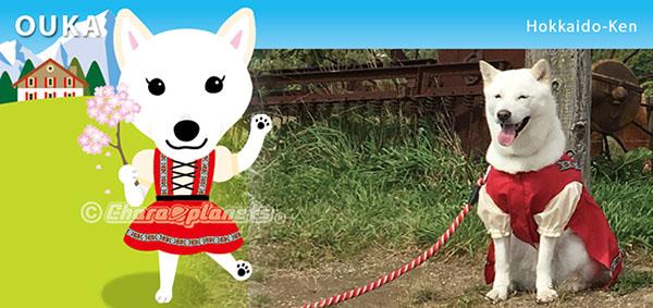 北海道犬のおうかちゃん