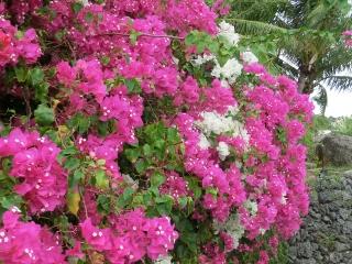 グアムに咲く花 1