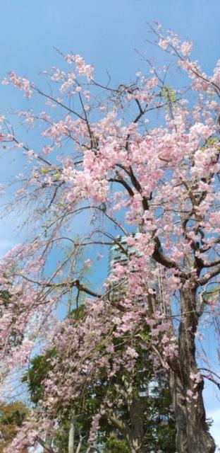 青空に映える枝垂れ桜