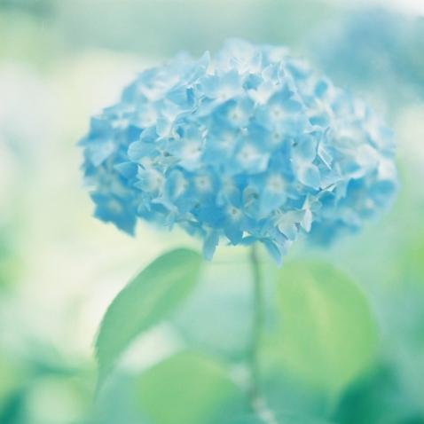 青紫陽花.jpg