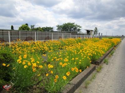 20200524近所のお花畑04