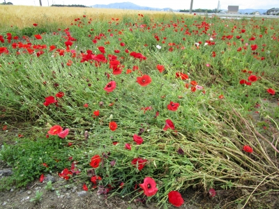 20200524近所のお花畑07