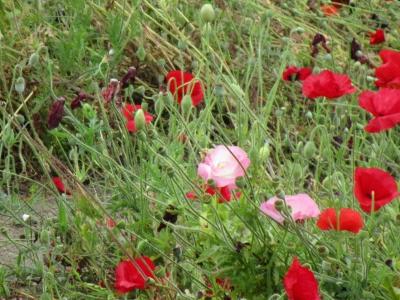20200524近所のお花畑09