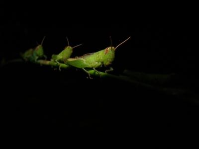 マダラバッタ(幼虫)