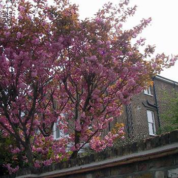 ロンドンの桜