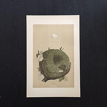 アンティーク鳥類図鑑 Francis Orpen Morris アンティークネストポスター アンティークエッグプリント