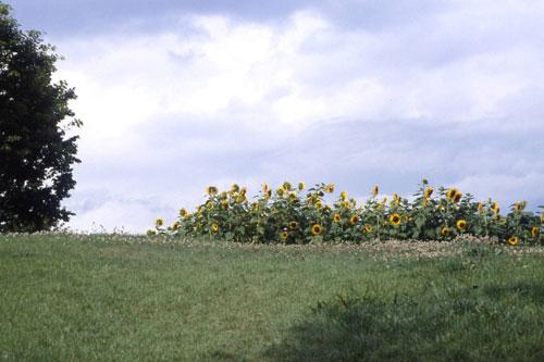 ひまわりの丘