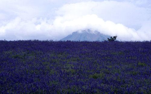 ラベンダーと大山