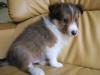 8月10日生まれのシェルティ子犬・オス