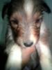 シェルティ子犬1