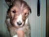 シェルティ子犬2
