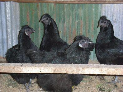 gallo nero