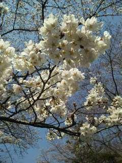 墓地公園桜