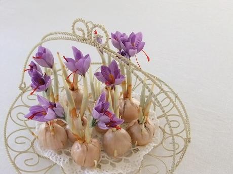 サフラン | Souvenir Souvenir サフラン サフランの花が咲きました。球根は土に