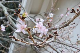 チクリン桜