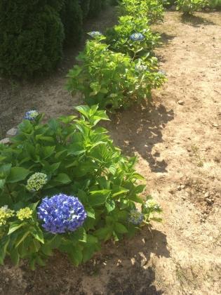 7月の紫陽花_170709 裏庭紫陽花塀奥.JPG