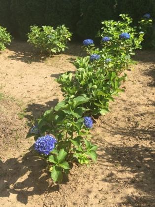 7月の紫陽花_170709 裏庭紫陽花塀手前.JPG