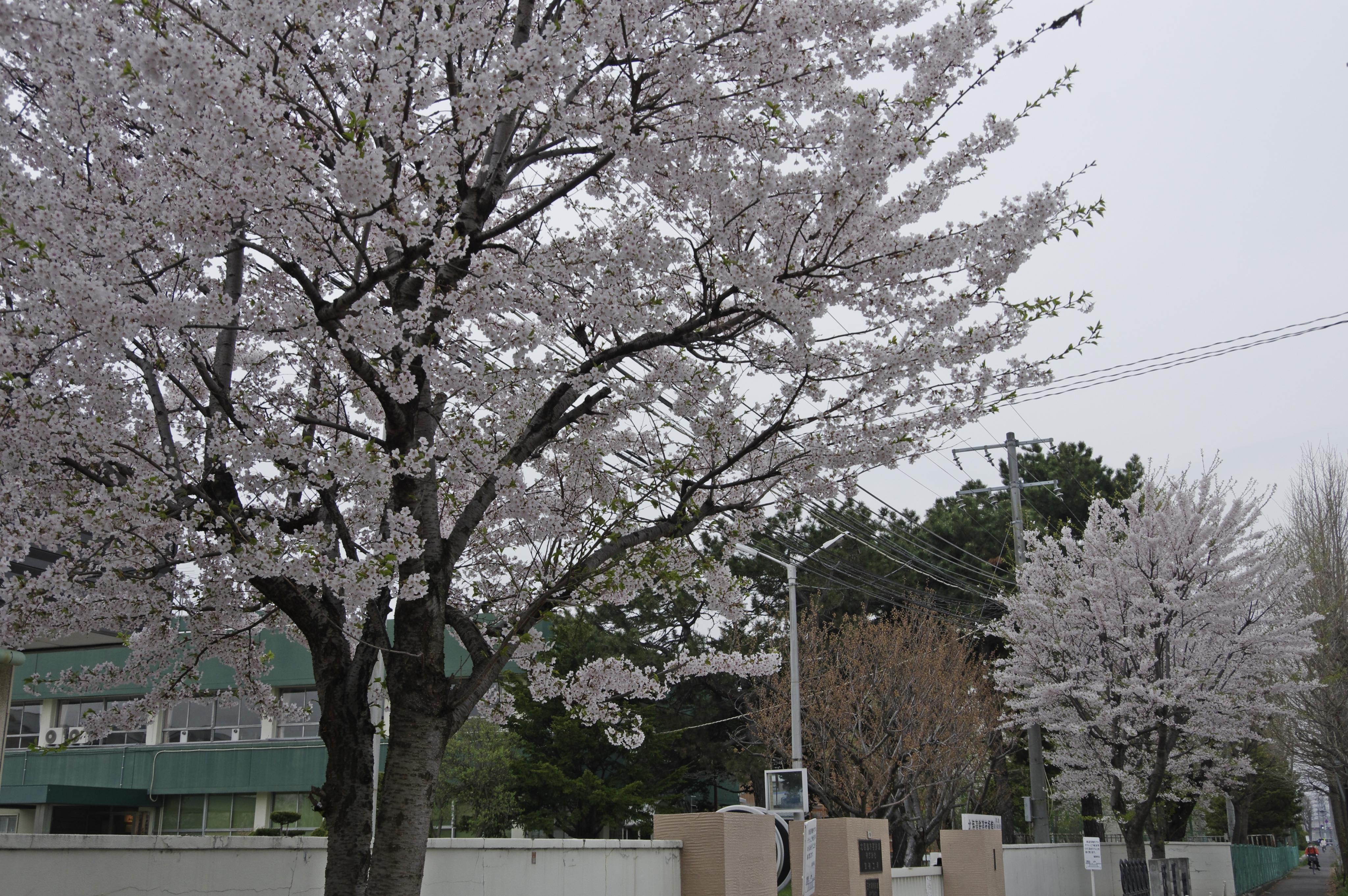 苗穂工場 桜_180502.jpg