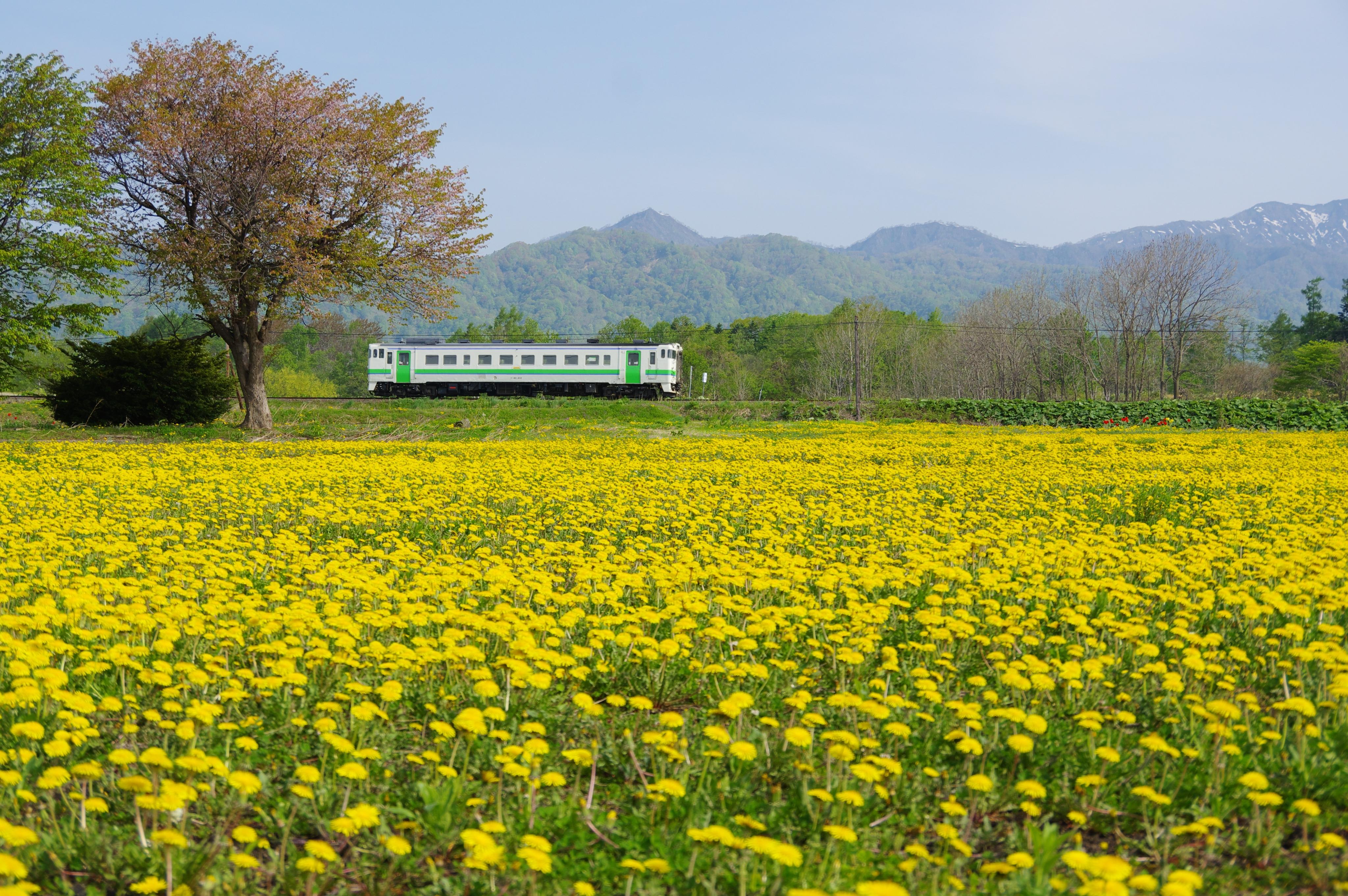 キハ40 5423D 豊ヶ岡−札比内 タンポポ畑_190518.jpg